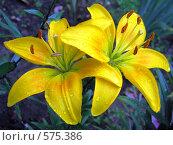 Желтые лилии после дождя. Стоковое фото, фотограф Наталья Ничепорук / Фотобанк Лори