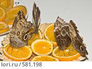 Купить «Тропические бабочки отряда Caligo (Калиго) кормятся на дольках апельсина», фото № 581198, снято 28 октября 2008 г. (c) Эдуард Межерицкий / Фотобанк Лори