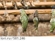Купить «Куколки тропических бабочек», фото № 581246, снято 28 октября 2008 г. (c) Эдуард Межерицкий / Фотобанк Лори