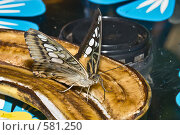 Купить «Тропическая бабочка семейства Parthenos silvia кормится на ломтике банана», фото № 581250, снято 28 октября 2008 г. (c) Эдуард Межерицкий / Фотобанк Лори