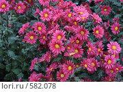 Купить «Хризантемы», фото № 582078, снято 9 ноября 2008 г. (c) Галина  Горбунова / Фотобанк Лори