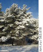 Сосны в снегу. Стоковое фото, фотограф Александр Новиков / Фотобанк Лори