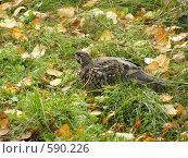 Купить «Рябчик», фото № 590226, снято 21 сентября 2006 г. (c) Сергей Фролов / Фотобанк Лори