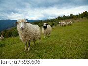 Купить «Овцы на горных склонах», фото № 593606, снято 27 сентября 2008 г. (c) Юрий Брыкайло / Фотобанк Лори