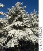 Сосны в снегу на фоне синего неба. Стоковое фото, фотограф Александр Новиков / Фотобанк Лори