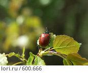 Купить «Красный жук на веточке молодой осинки», фото № 600666, снято 12 мая 2005 г. (c) Сергей Бехтерев / Фотобанк Лори