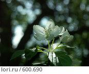Купить «Цветок на свету, цветение весной плодовых деревьев», фото № 600690, снято 19 мая 2005 г. (c) Сергей Бехтерев / Фотобанк Лори