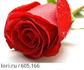 Алая роза в капельках росы. Стоковое фото, фотограф Виктория Кириллова / Фотобанк Лори