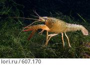 Купить «Рак в домашнем аквариуме», фото № 607170, снято 30 ноября 2008 г. (c) Демчишина Ольга / Фотобанк Лори