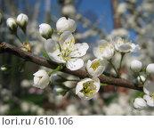 Купить «Ветка цветущей яблони», фото № 610106, снято 3 мая 2008 г. (c) Светлана Кудрина / Фотобанк Лори
