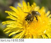 Купить «Одуванчик и пчела», фото № 610558, снято 20 апреля 2008 г. (c) Lina Kurbanovsky / Фотобанк Лори