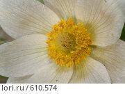 Прострел белый или сон-трава, фото № 610574, снято 11 мая 2007 г. (c) Титова Елена / Фотобанк Лори