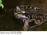 Купить «Травяная лягушка в воде», фото № 613634, снято 16 сентября 2019 г. (c) Александр Савушкин / Фотобанк Лори