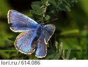 Купить «Голубянка Аргус, самец», фото № 614086, снято 16 сентября 2019 г. (c) Александр Савушкин / Фотобанк Лори