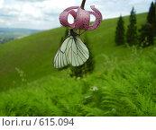 Купить «Бабочка-капустница на розовом цветке», фото № 615094, снято 26 июня 2008 г. (c) Иванова Наталья / Фотобанк Лори