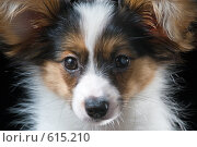 Купить «Молодой папийон», фото № 615210, снято 22 октября 2008 г. (c) Сергей Лаврентьев / Фотобанк Лори