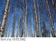 Купить «Береза», фото № 615542, снято 22 ноября 2008 г. (c) Максим Солдатов / Фотобанк Лори