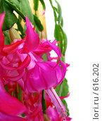 Купить «Цветущий зигокактус (декабрист)», фото № 616202, снято 14 декабря 2008 г. (c) Людмила Жмурина / Фотобанк Лори