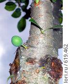 Не как все (Плод сливы вырос прямо на стволе) Стоковое фото, фотограф Наталья Ничепорук / Фотобанк Лори