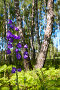 Березовый лес, фото № 620854, снято 15 июня 2008 г. (c) Юрий Брыкайло / Фотобанк Лори