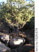 Купить «Выкопка крупномера сосны», фото № 624674, снято 19 декабря 2008 г. (c) Тарасова Татьяна / Фотобанк Лори