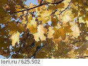 Кленовые листья. Стоковое фото, фотограф Арина Соколова / Фотобанк Лори