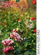 Купить «Садовые цветы», фото № 625842, снято 6 сентября 2008 г. (c) Сергей Пестерев / Фотобанк Лори