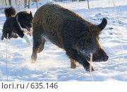 Купить «Собака гонит кабана», фото № 635146, снято 28 декабря 2008 г. (c) Алексей Крылов / Фотобанк Лори