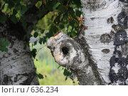 Карельская береза. Стоковое фото, фотограф Лена Осадчая / Фотобанк Лори