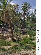 Купить «Пальмы в оазисе Тамерза. Тунис», фото № 641254, снято 22 мая 2008 г. (c) Aleksander Kaasik / Фотобанк Лори