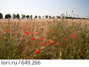 Купить «Мак на краю поля», фото № 649266, снято 1 июля 2008 г. (c) Архипова Мария / Фотобанк Лори