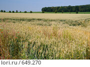 Купить «Поле пшеницы летом», фото № 649270, снято 1 июля 2008 г. (c) Архипова Мария / Фотобанк Лори