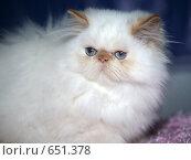 Купить «На выставке кошек», фото № 651378, снято 20 декабря 2008 г. (c) Виктор Филиппович Погонцев / Фотобанк Лори