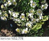 Купить «Роза альба (шиповник)», фото № 652778, снято 21 мая 2007 г. (c) Маргарита Лир / Фотобанк Лори