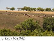 Купить «Стадо коров на холме», фото № 652942, снято 16 июля 2008 г. (c) Александр Ерёмин / Фотобанк Лори