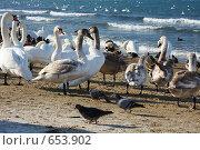 Купить «Лебеди на морском берегу», фото № 653902, снято 12 января 2009 г. (c) Дмитрий Натарин / Фотобанк Лори