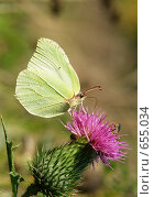 Купить «Бабочка лимонница», фото № 655034, снято 23 мая 2018 г. (c) Константин Порядин / Фотобанк Лори