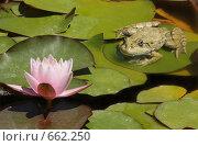 Зеленая лягушка возле лотоса. Стоковое фото, фотограф Яроцкий Андрей Петрович / Фотобанк Лори