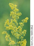 Купить «Подмаренник настоящий (galium verum)», фото № 669862, снято 2 июля 2006 г. (c) Артём Сапегин / Фотобанк Лори
