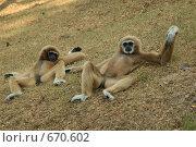 Обезьяны отдыхают (2009 год). Стоковое фото, фотограф Блинова Ольга / Фотобанк Лори