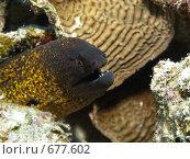 Купить «Золотистая пятнистая мурена(Gymnothorax javanicus) среди кораллов. Подводная съемка.», фото № 677602, снято 18 ноября 2008 г. (c) Мельников Дмитрий / Фотобанк Лори