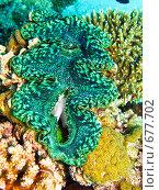 Купить «Гигантский моллюск (Tridacna maxima). Подводная съемка.», фото № 677702, снято 20 ноября 2008 г. (c) Мельников Дмитрий / Фотобанк Лори
