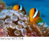 Купить «Рыбы-клоуны ( Amphiprion bicinctus) и пузырьковая анемона (Entacmaea quadricolor). Подводная съемка», фото № 677714, снято 21 ноября 2008 г. (c) Мельников Дмитрий / Фотобанк Лори