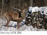 Купить «Олень в лесу», фото № 678386, снято 9 января 2009 г. (c) Gagara / Фотобанк Лори