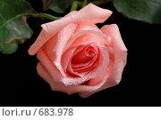 Купить «Цветок розовая роза с каплями росы на черном фоне», фото № 683978, снято 31 января 2009 г. (c) Криволап Ольга / Фотобанк Лори