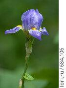 Купить «Фиолетовый ирис на зелёном размытом фоне», фото № 684106, снято 15 июня 2008 г. (c) Артём Сапегин / Фотобанк Лори