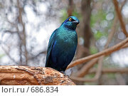Синяя птица (любопытство) Стоковое фото, фотограф Дмитрий Перельман / Фотобанк Лори