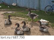 Купить «Домашние гуси», фото № 687790, снято 17 октября 2008 г. (c) Анна Андреева / Фотобанк Лори
