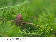 Купить «Молодая шишка лиственницы», фото № 690422, снято 15 июня 2008 г. (c) Артём Сапегин / Фотобанк Лори
