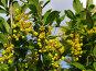 Куст цветущего барбариса, эксклюзивное фото № 692454, снято 18 мая 2008 г. (c) Тамара Заводскова / Фотобанк Лори